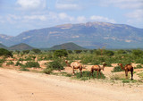 Camels in Kenya, Africa. Mountain landscape. Plants and trees ar