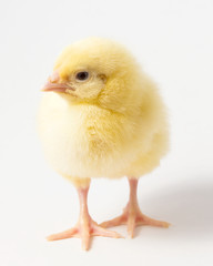 a single chicken chick on a white background