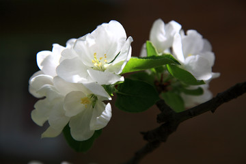 Apple flowers over natural background