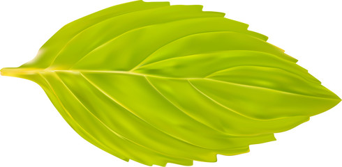 single green mint leaf illustration