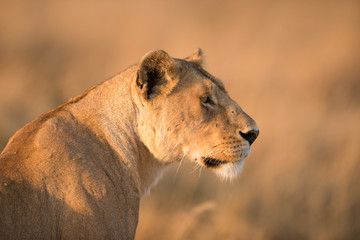 Female lion in Serengeti, Tanzania