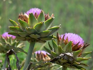 fiori di carciofo (Cynaria scolymus)