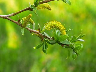 salice bianco (Salix alba)