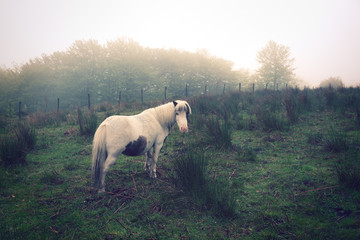 white pony on field with fog in vintage