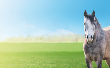 gray horse on background green spring pastures, blue sky, banner