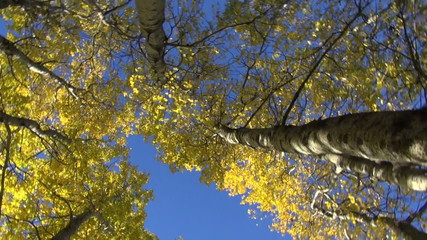 beautiful autumn aspens in forest and camera rotation