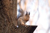 Brown squirrel sits on a tree in forest