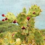 Opuntia stricta - growing plant with fruits