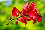 Fototapety red orchid flower on blur background