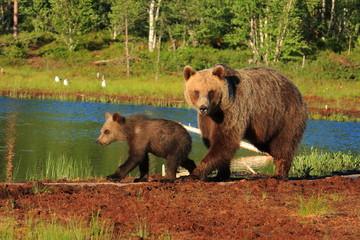 orso bruno della finlandia con piccolo
