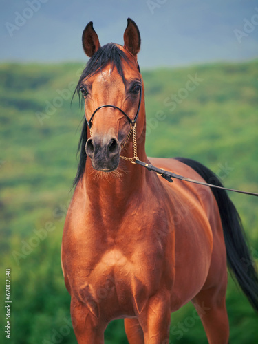 bay arabian stallion at mountain background