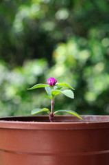 Small Globe Amaranth flower in plastic pot