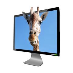 Giraffa fuori dallo schermo