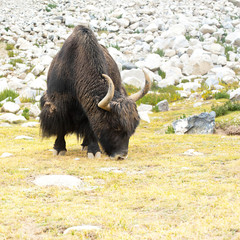 Wild yak in Himalaya mountains. India, Ladakh