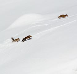 Volpi rosse in alta montagna - Vulpes vulpes
