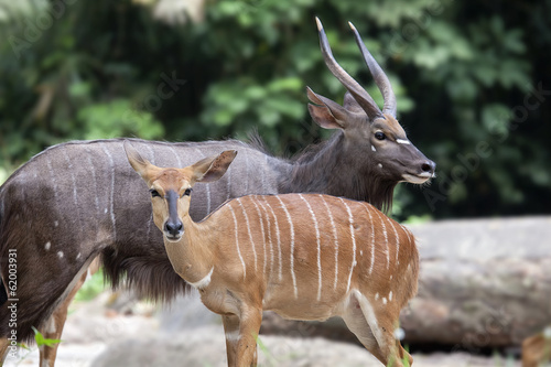 Nyala Male and Female Pair