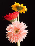 Three beautiful gerbera daisy flowers - pink, red and yellow