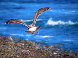 A back of herring gull flying at the coast line