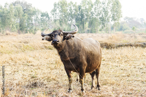 buffalo in wide field of thailand