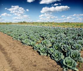 kale field