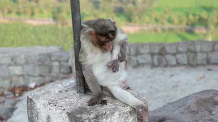 Monkey in Hampi