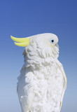 cockatoo( parrot)