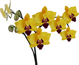 bright yellow orchids isolated on white