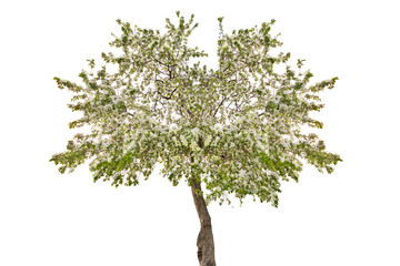 isolated blossoming apple tree with white flowers