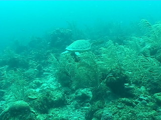sea turtle coral life underwater video