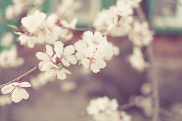Toned cherry flowers