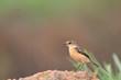 Bird on the best habitat (Pied Bushchat) in green background , K
