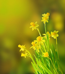 Beautiful daffodils
