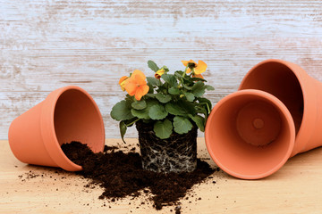 Hornveilchen pflanzen