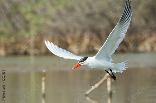 Caspian Tern in flight in the mangroves