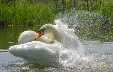 swan flapping its wings to wash its feathers