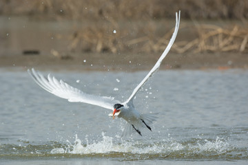 Caspian Tern leaving the water with a fish in its mouth
