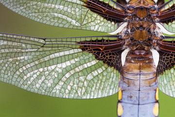 Libellula depressa, close up view