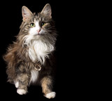 fluffy cat on a black background with a gold chain