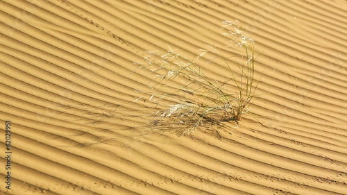 Sprouts of desert grass amidst the sand of Thar desert