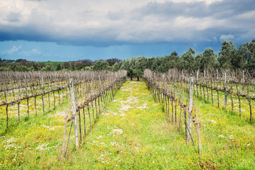 biological vineyard in spring with flowers and olive tree