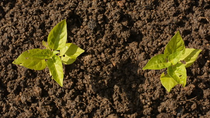 planting, sprout