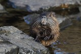 Wild nutria (Myocastor coypus). End of winter.