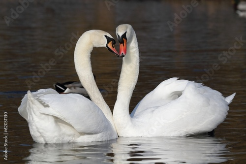 Two mute swans on the water. Courtship.