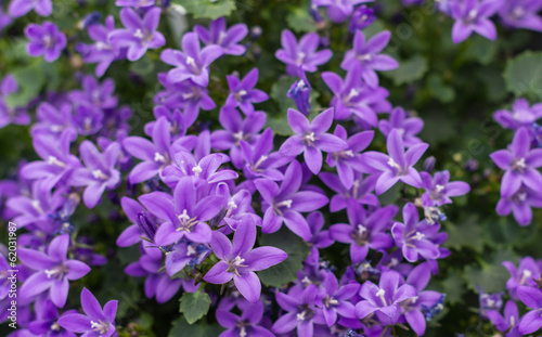 Fotobehang Lilac Closeup of Campanula plants purple flowering in the garden