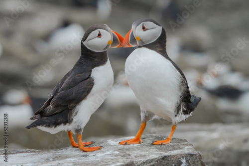 Two atlantic puffins in love
