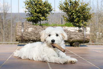cucciolo di maltese gioca con bastoncino