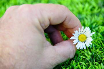 Cueillir une fleur marguerite