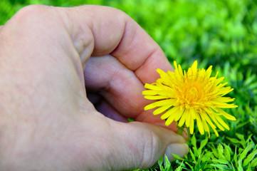 Cueillir une fleur de pissenlit