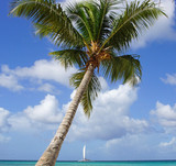 Coconut tree on caribbean beach, Dominican Republic