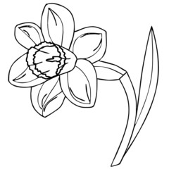 vector drawing of a daffodil
